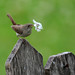 House Wren's Treasure by picturesinmylife_yls