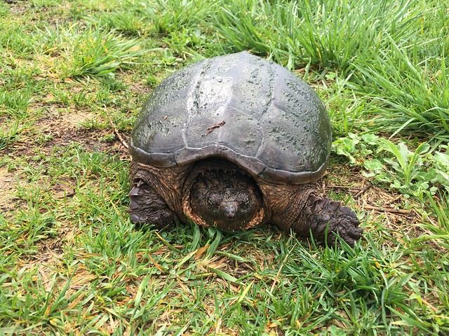 20180504 Snapping Turtle