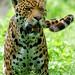Chincha, The Jaguar