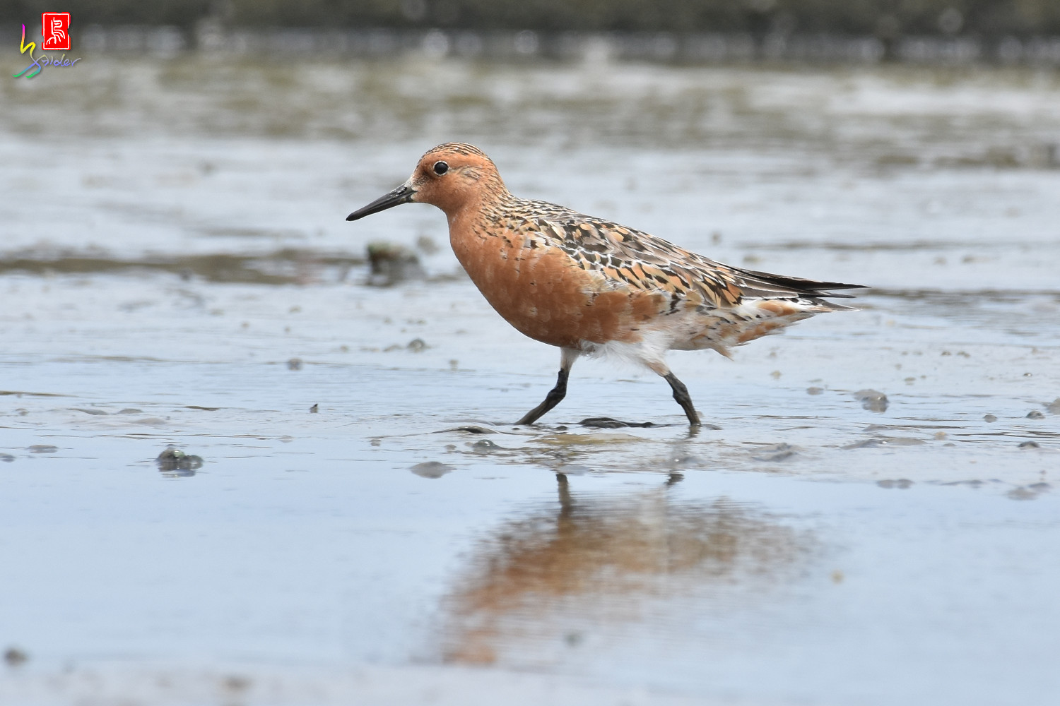 Red_Knot_0293