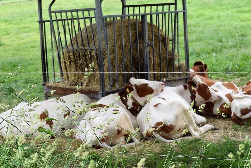 Cows 26.05 (3)