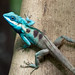 Indo-Chinese forest lizard (Calotes mystaceus) by BenjaminMichaelMarshall