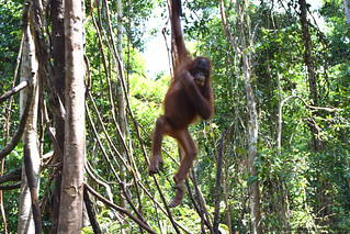 Orangutan of the Month Allisson Orangutan Foundation International