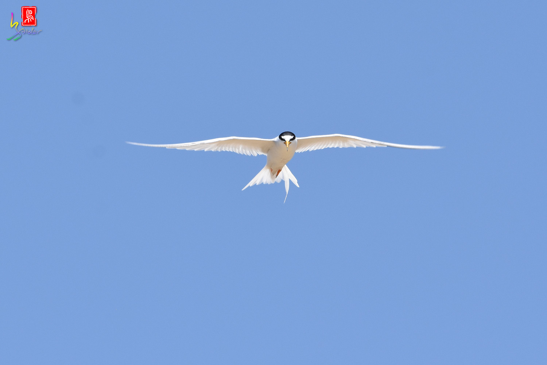 Little_Tern_9345