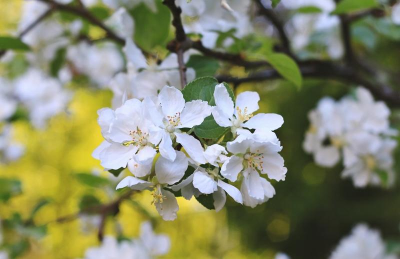 omenapuu 6