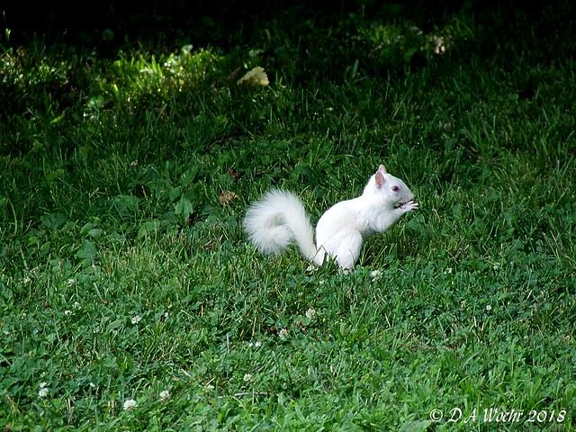 Albino Gray Squirrel, Fujifilm FinePix S5200