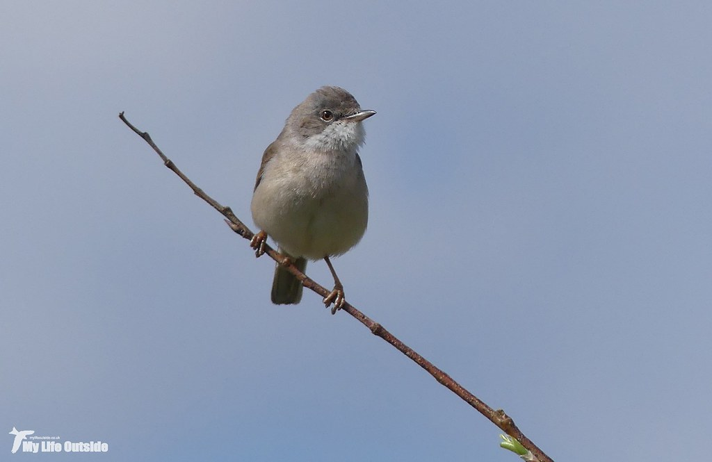 P1140831 - Whitethroat