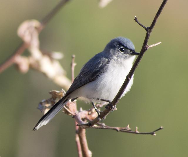 Blue-gray Gnatcatcher, Coldwater Canyon, Olympus E-M5, Lumix G Vario 100-300mm F4.0-5.6 Mega OIS