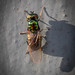 Black-horned Gem - Microchrysa polita