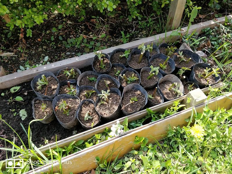 ブラックベリーの苗を作る (10)