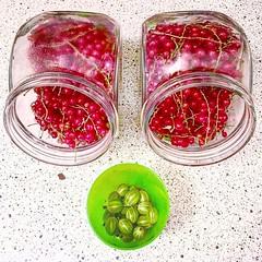 Berry harvest :scream_cat:#redcurrant #gooseberry #johannisbeeren #stachelbeeren