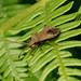 Dock Bug --- Coreus marginatus