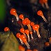 Red Slime Mold Sporangia