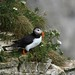 Puffin at RSPB Bempton cliffs