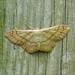 Riband Wave --- Idaea aversata  ( plain form )