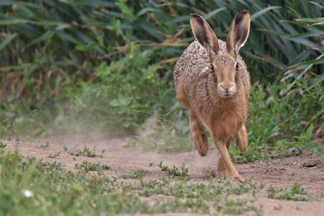 Brown hare (Lepus europaeus) Romney Marsh Kent (2)