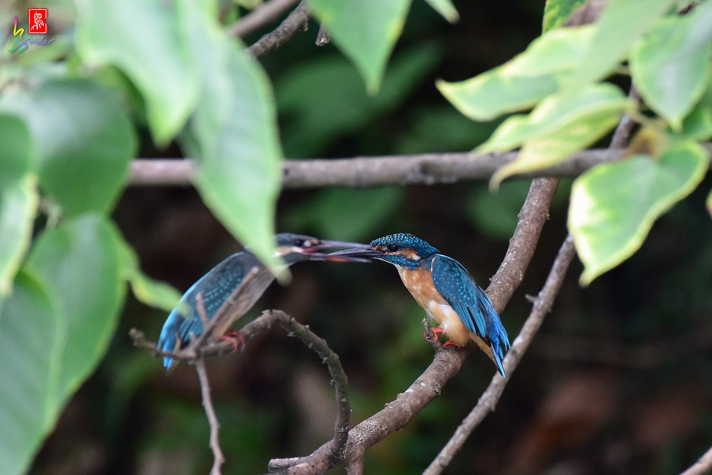 Common_Kingfisher_4135