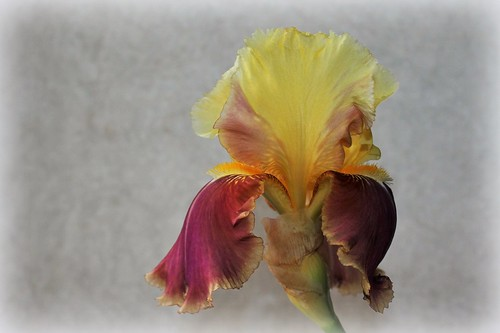 Iris 'Tracy Tyrene' - Richard Ernst 1988 27979127277_97ee890206