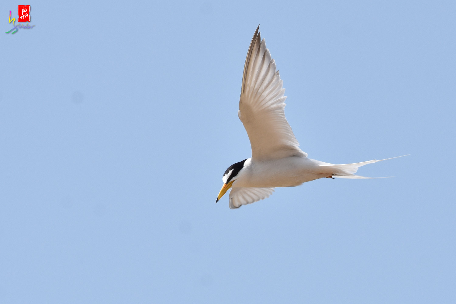 Little_Tern_0106