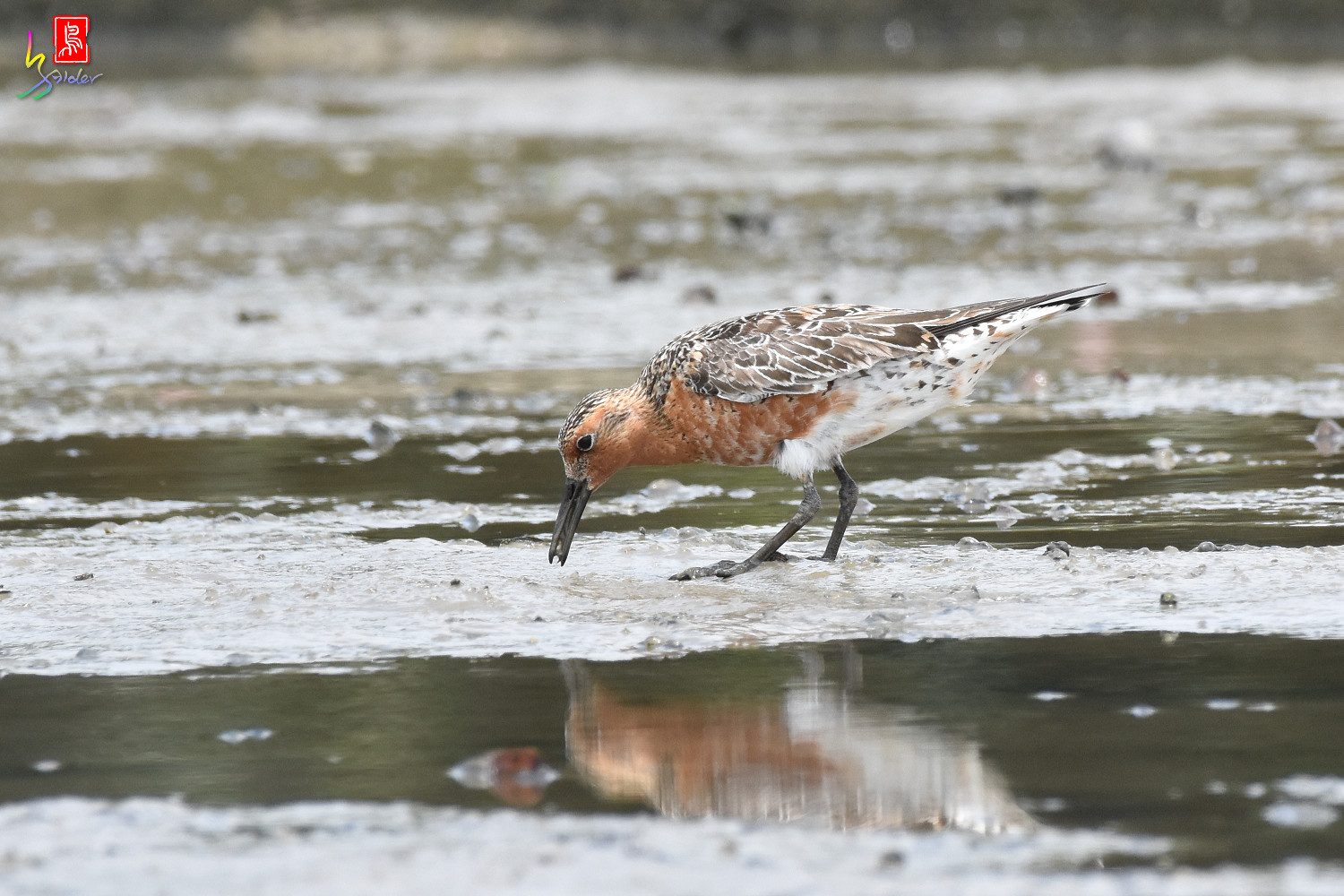 Red_Knot_1349