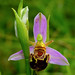 Bee orchid May 2018