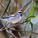 Golden-winged Warbler por rolando chdm