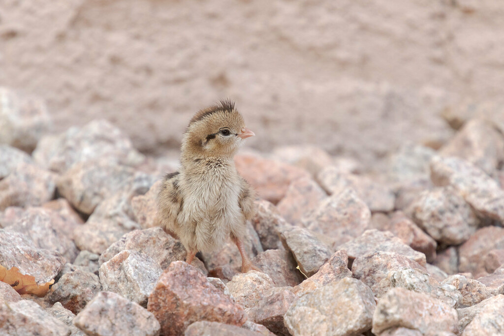 A Gambel's quail chick in our backyard