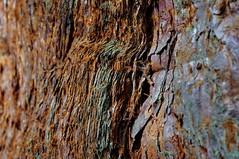 Sequoia macro