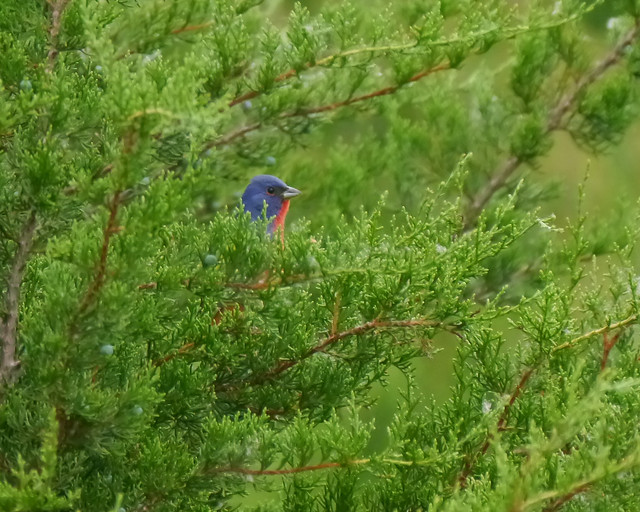 Painted Bunting in Juniper