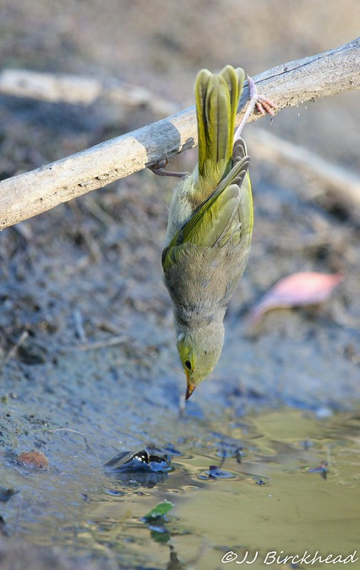 White-plumed Honeyeatrer hanging from stick