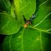 Fruit Fly - Philophylia casio