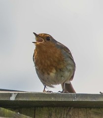 Feeding Time For Baby Robin