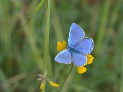 Zuidelijk icarusblauwtje