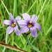 Sisyrinchium angustifolium Blue-eyed Grass