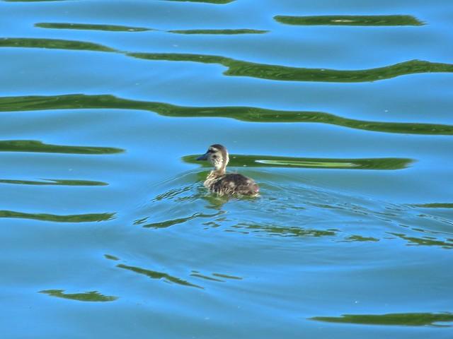 duckling wake