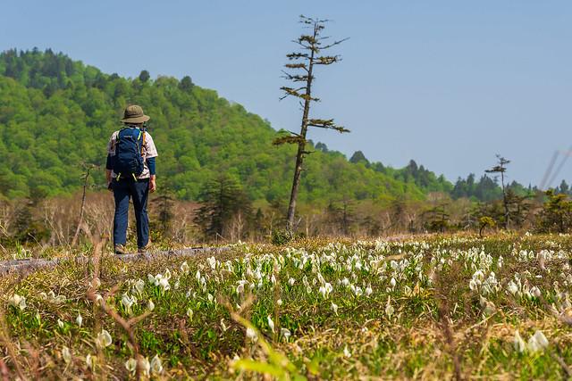温泉小屋へ向かう木道沿いに咲くミズバショウ