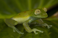 Red-spotted Glassfrog - Nymphargus grandisonae