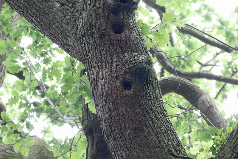 Tree with Great Spotted Woodpecker nests and juvenile