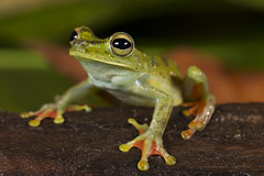 Brown Lines Tree Frog-Boana rubracyla (2)