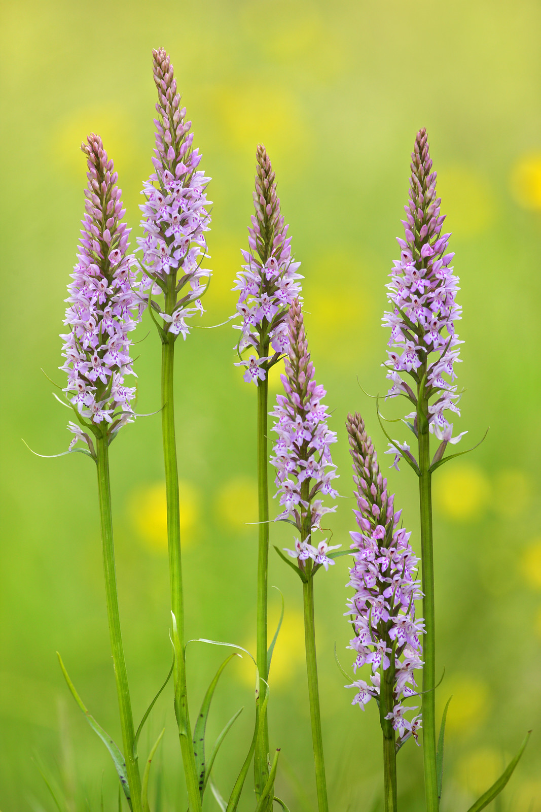 Common Spotted Orchids - June 6th 2018