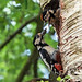 Greater Spotted Wood Pecker feeding its chick