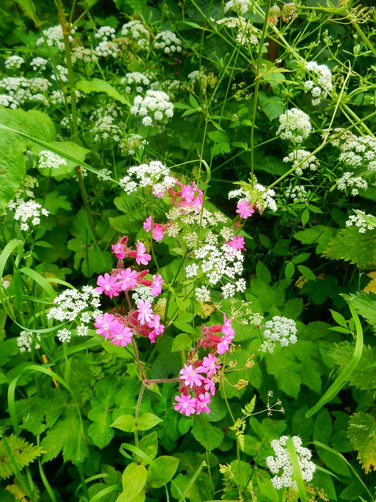 Red Campion Pulborough Circular