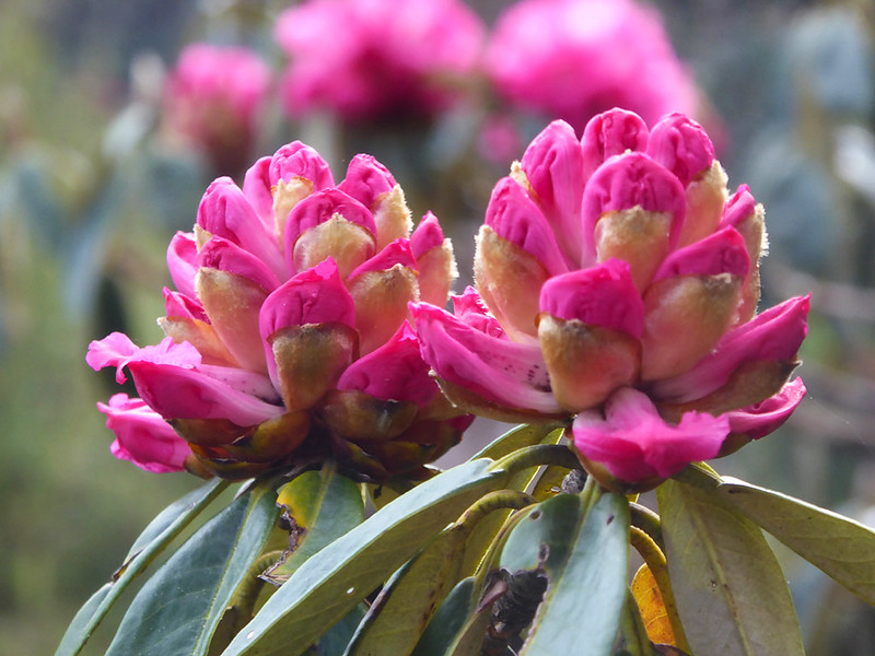 Forests of brilliant pink rhododendron flowers occur along the Poon Hill trek near to Ghorepani