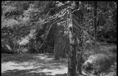 forest trees speckledlight communityparkatcraggypark westasheville northcarolina fed4 aristaedu200 ilfordilfosol3developer industar26 35mm 35mmfilm film soviet rangefinder blackandwhite monochrome monochromatic landscape