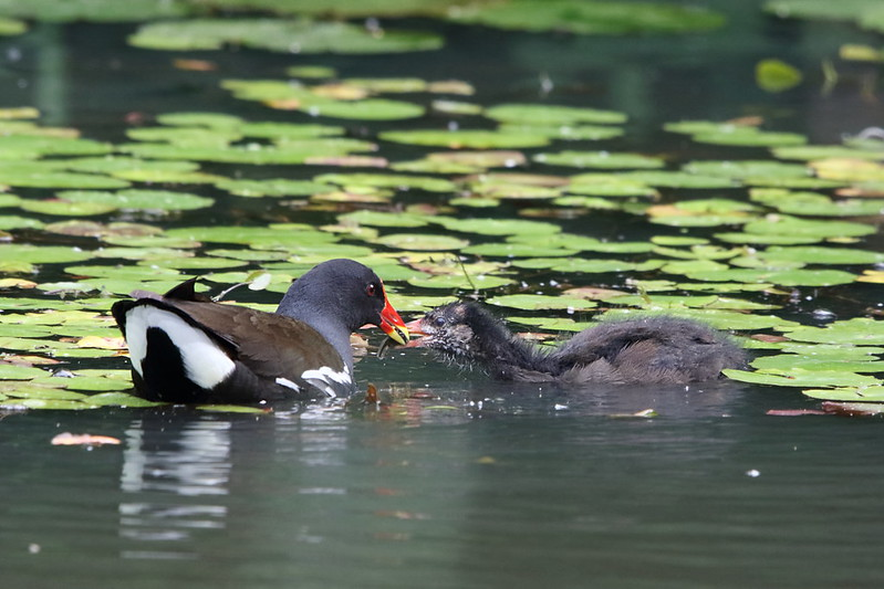 Moorhen chick being fed a tadpole