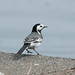 Pied Wagtail  9