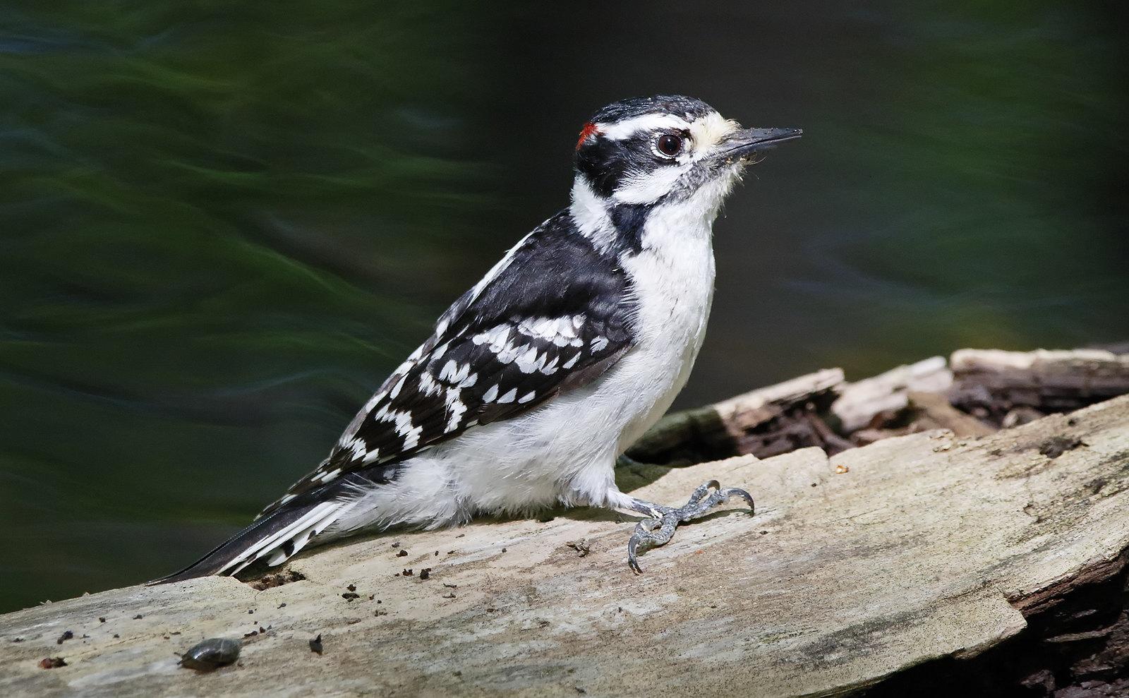 Downy Woodpecker [male]