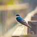 Tree Swallow by A Great Capture