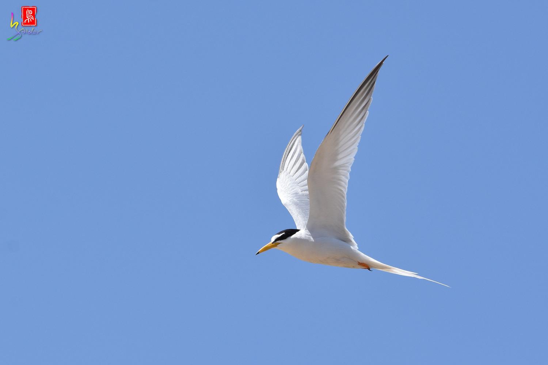 Little_Tern_9280