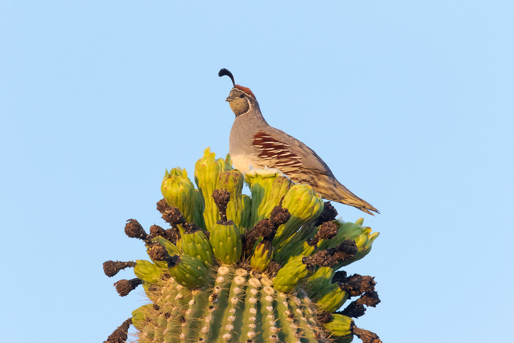 A male Gambel's quail sits atop spent saguaro blossoms in the Brown's Ranch section of McDowell Sonoran Preserve in Scottsdale, Arizona